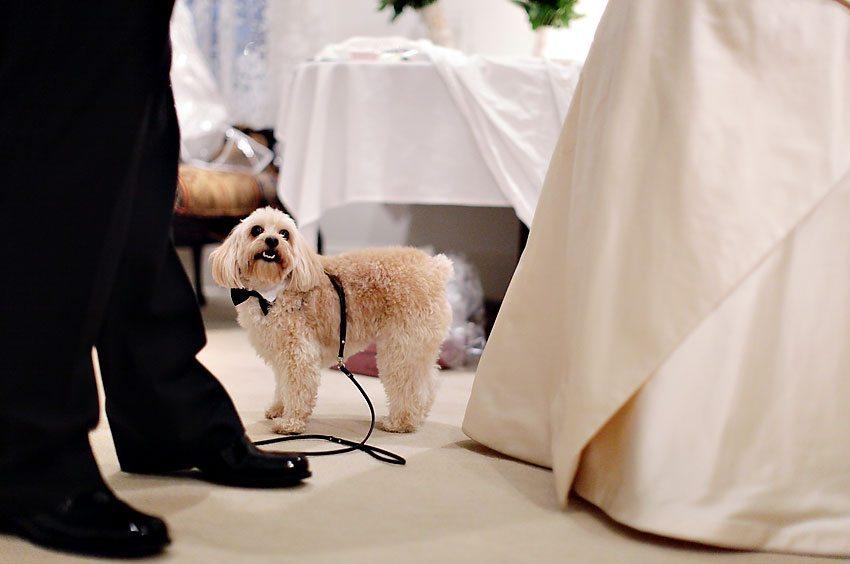 Dog Wedding Dog-tuxedo-bow-tie-wedding