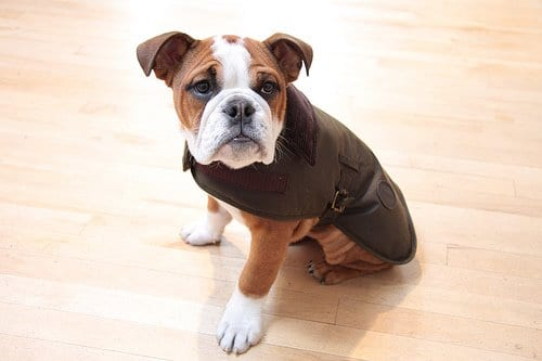 boxer-puppy-brown-dog-coat