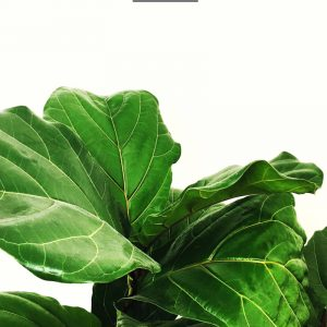 How to Care for a Fiddle Leaf Fig Tree thumbnail