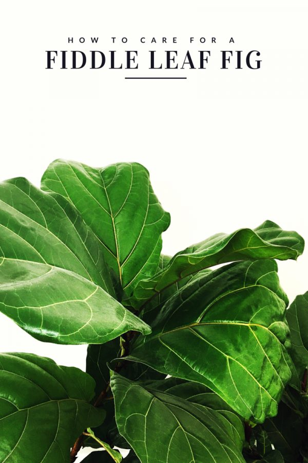 How to Care for a Fiddle Leaf Fig Tree from @cydconverse | Click through for tips or repin to save for later! Click through for more home decor ideas and entertaining ideas!